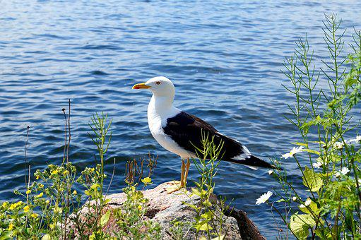 Lesser Black-backed Gull, Fjäderholmarna, Summer