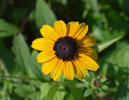 Wild Black-eyed Susan, Wildflower, Flower, Blossom