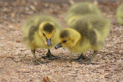 Duckling, Fluffy, Sibling, Fowl, Bird, Duck, Yellow