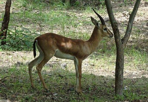 Chinkara, Gazella Bennettii, Indian Gazelle