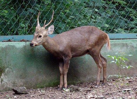 Indian Hog Deer, Hyelaphus Porcinus, Deer, Animal