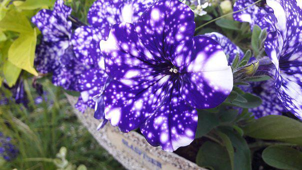 Petunia, Night Skies, Plants, Plant, Blue, Vitprickig