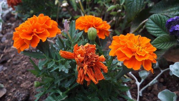 Marigolds, Orange, Plant, Flowers, Flower, Plants