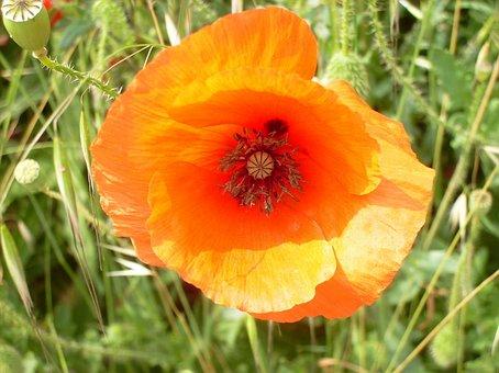 Poppy, Plant, Orange