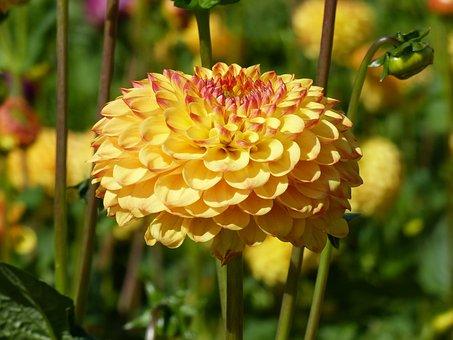 Pompom, Dahlia, Flowers, Colors, Summer, Garden