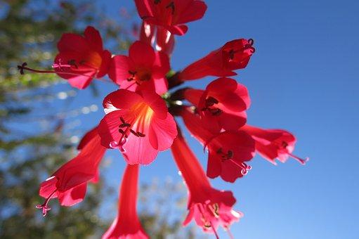 Red Light, Cantua Buxifolia