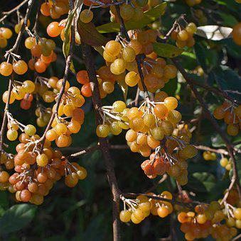 Ripening Autumn Olive Berries, Shrub, Plant, Nature