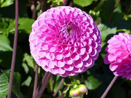 Pompom, Dahlia, Flowers, Green, Colors, Summer, Garden
