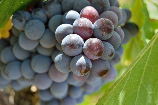 Grapes, Screw, Bunch, Red, Vineyard, Wine, Tuscany