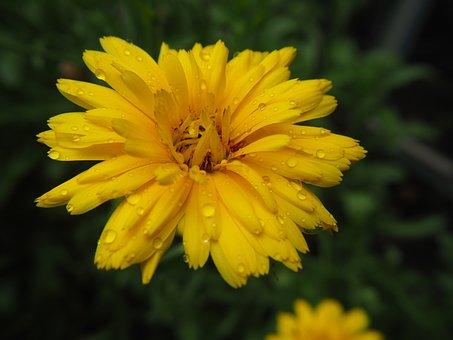 Marigold, Blossom, Bloom, Yellow, Gardening, Flower