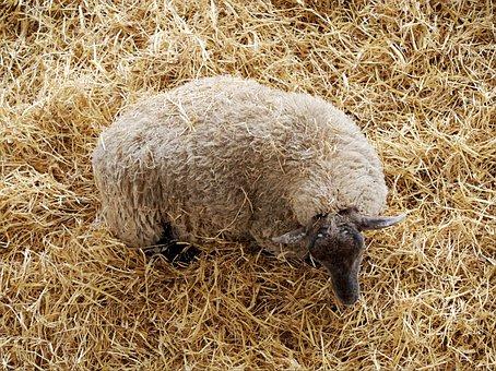 Sheep, Above, Straw, Wool, Grazing, Animal, Farm
