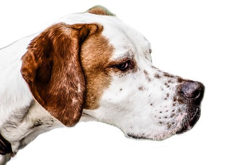 Dog, Adorable, Animal, Breed, Brown, White, Canine