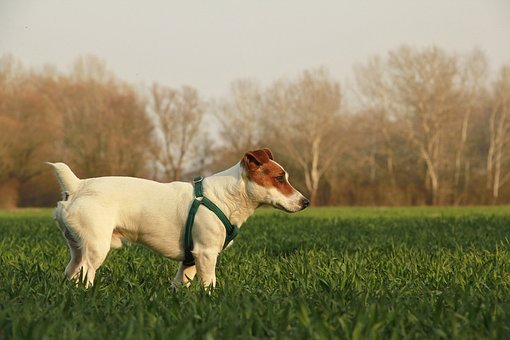 Dog, Outdoor, Animal, Pet, Summer, Nature, Park, Breed