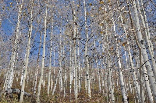 Birch, Utah, Park City, Yellow, Nature, Trees, Autumn