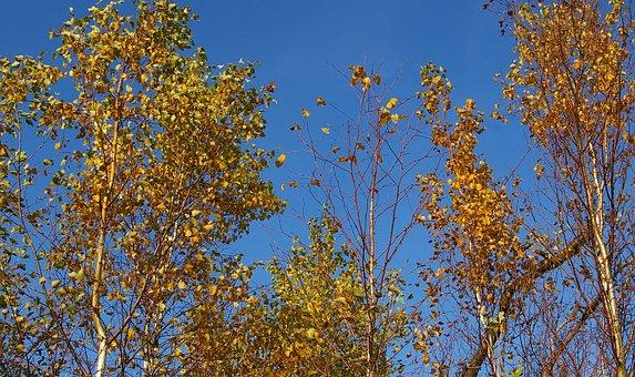 Birch Forest, Birch Tree, Birch, Deciduous Tree, Tree