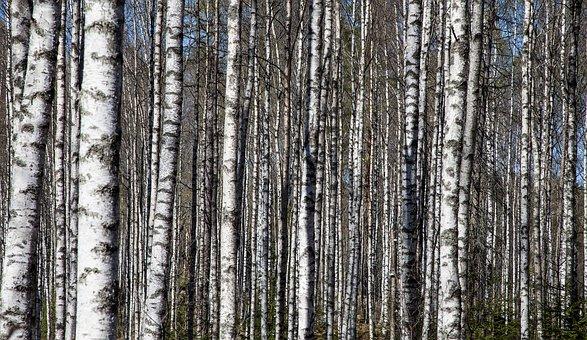 Birch Trees, Birch Trunks, Birch Forest