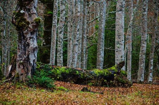 Birch, Forest, Mysticism, Mystical, Birch Forest, Log
