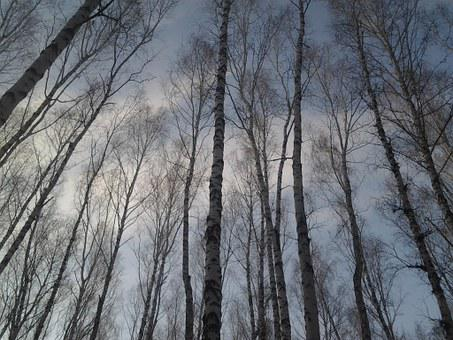Trees, Birch, Forest, Sky, Leaves, Nature