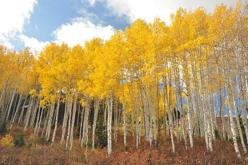 Utah, Park City, Birch, Yellow, Nature, Trees, Autumn