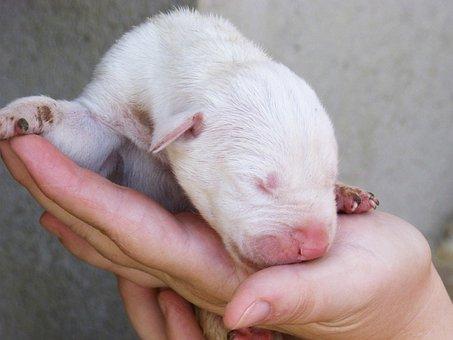 Dog, Puppy, Breeding, Great Dane, Puppy Sleeping