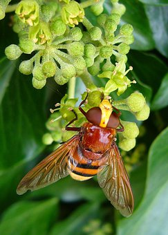 Hornet Mimic Hoverfly, Volucella Zonaria, Insect