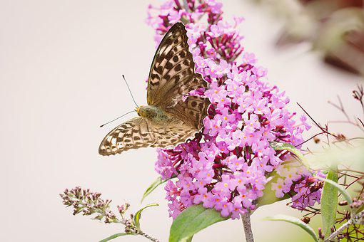 Butterfly, Fritillary, Edelfalter, Insect