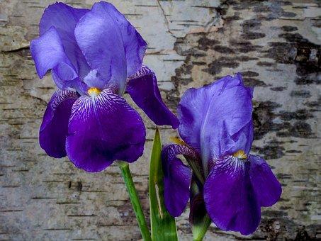 Iris, Flower, Spring, Iridaceae, Birch Bark