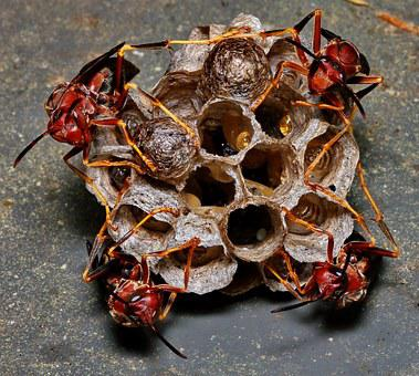 Wasp, Nest, Eggs, Macro, Hive, Larvae, Family, Insect