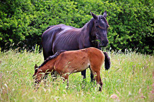 Horse, Foal, Rap, Mare With Foal, Pasture, Grass, Mane