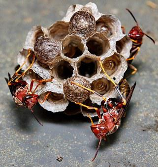 Wasp, Nest, Insect, Macro, Hive, Larvae, Egg, Colony