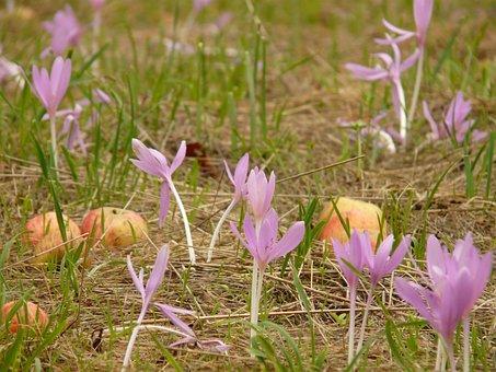 Herbstzeitlose, Flower, Blossom, Bloom, Purple