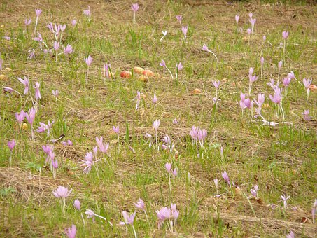 Blossom, Bloom, Purple, Herbstzeitlose, Meadow