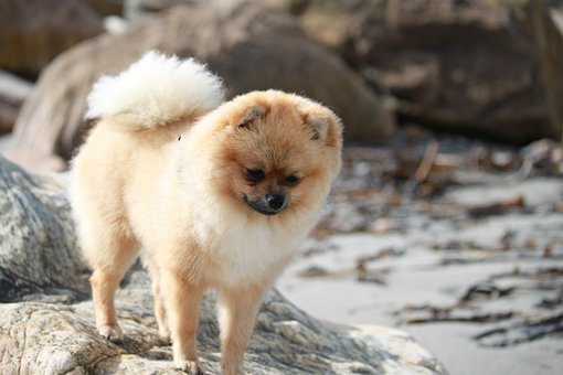 Pomeranian, Spitz Miniature, Pet, Dog, Breed, Fluffy