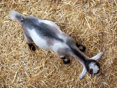 Goat, Kid, Above, Straw, Grazing, Animal, Farm