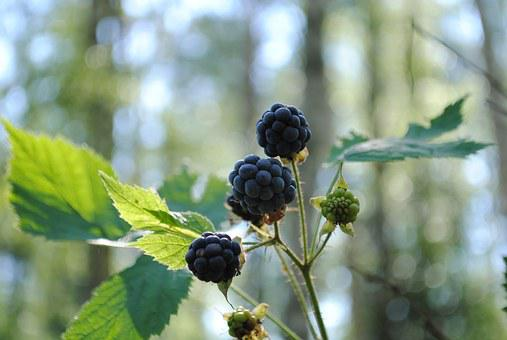 Berry, Blackberry, Forest, Leaves, Summer, Nature