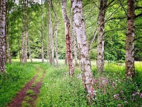 Birch, Forest, Summer, Nature, Green, Trees, Away