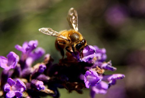 Bee, Lavender, Wings, Pollen, Insect, Nature, Yellow