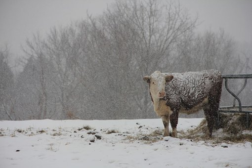Nature, Cows, Farm, Snow, Animal, Cattle, Agriculture