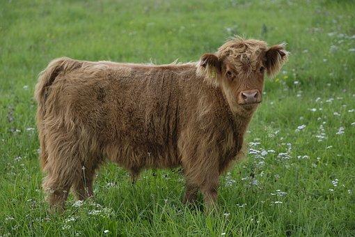 Beef, Calf, Cow, Young Animal, Baby, Animal, Pasture