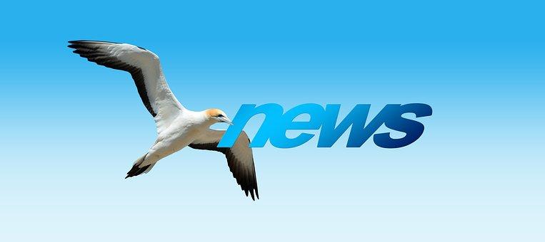 News, Northern Gannet, Animal World, Bird, Flying