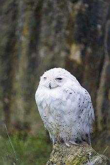 Owl, Snowy Owl, Snow Owl, Eagle Owl, Rest, Sleep, Bird