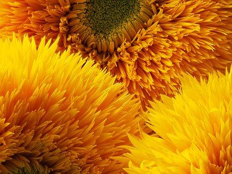 Sunflower, Three Bloom, Yellow, Orange, Bloom, Petal