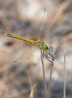Yellow Dragonfly, Sympetrum Fonscolombii, Branch