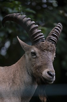 Capricorn, Goat, Animal, Mammal, Bock, Goatee, Horns