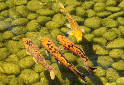 Koi, Carp, Pond, Water, Koi Carp, Fish, Swim