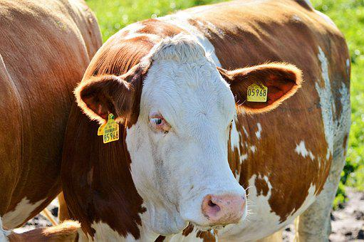 Cow, Beef, Ruminant, Cattle, Livestock, Paarhufer