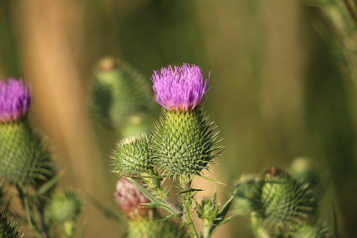 Arctium Lappa, Burdock, Plant, Flora, Herb, Wild