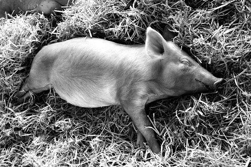 Piglet, Sleeping, Pig, Baby, Cute, Adorable, Farm, Hay