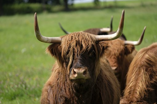 Beef, Cow, Animal, Pasture, Agriculture, Highland