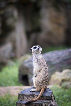 Meerkat, Meercat, Scharrtier, Animal, Nature, Mammal